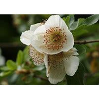 Eucryphia x nymansensis 'Nymansay' On Hold