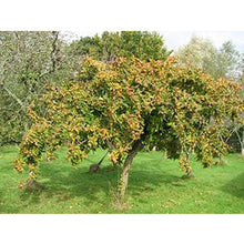 Load image into Gallery viewer, Medlar Tree (Mespilus germanica)