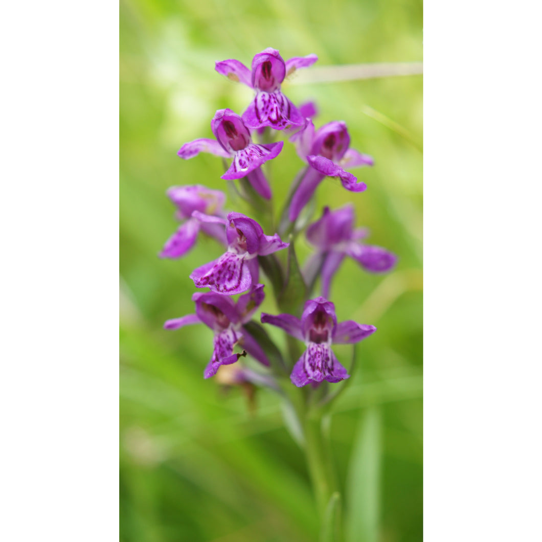 Orchid: Northern marsh (Dactylorhiza purpurella)