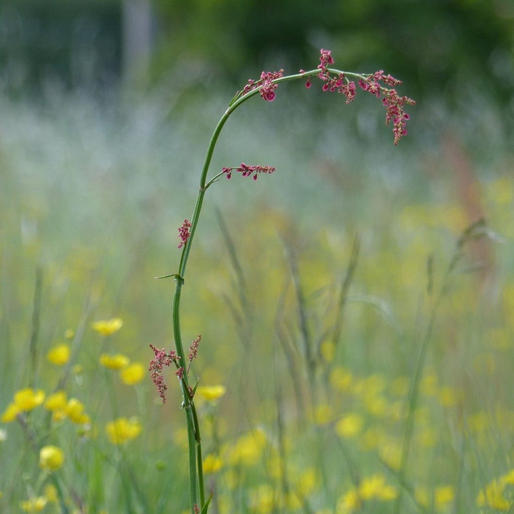 Northern Hay Meadow Seed Mix