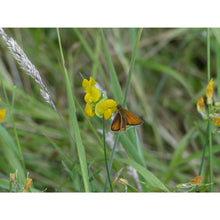 Load image into Gallery viewer, Scottish Highlands Meadow Seed Mix
