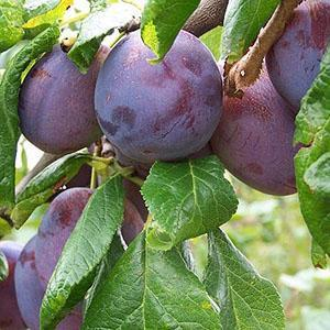 Plum Tree - Marjorie's Seedling