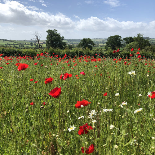 Poppies as nurse for meadow mix