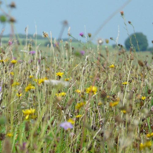 Wiltshire meadow seed mix