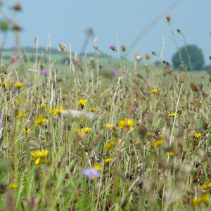 Wiltshire Wildflower Meadow Seed Mix