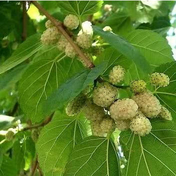 Mulberry Tree - White Mulberry (Morus alba)