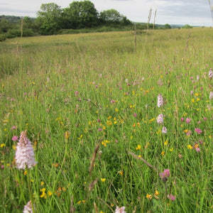 Wales Wildflower Meadow Seed Mix
