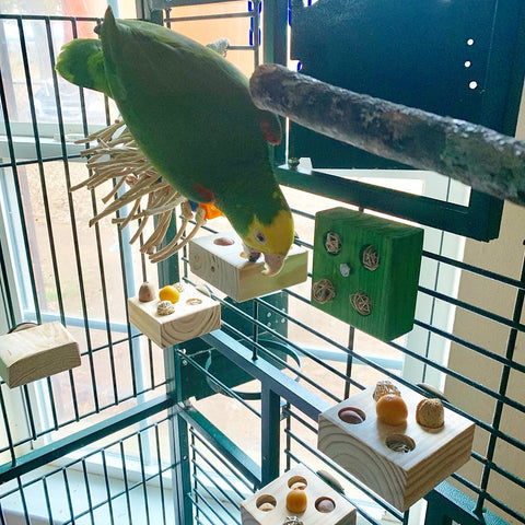 Loopey, a double yellow heade damazon, searche sfor food in his Snack Tables Toys