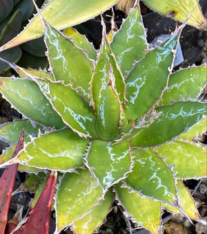 Agave impressa Compact Form