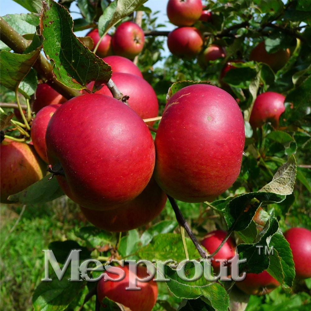 50pcs Super Sweet Red Apple Fruit Love Red Meat Potted Fruit Trees Ca Common Ground2019