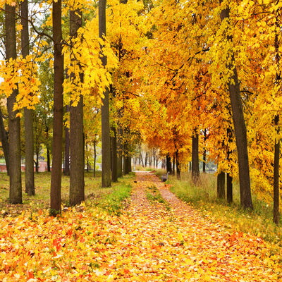 Autumn Backdrop Yellow Fallen Leaves Nature Forest Road Backdrop  F-177