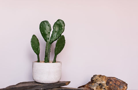 Cactus sitting in front of a wall painted with Digby Paints premium interior wall paint colour Best Judy