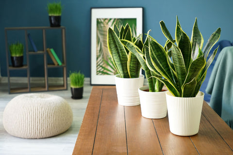 Snake Plants with Blue Background