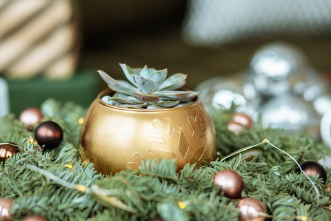 Image of succulents being used in holiday decor