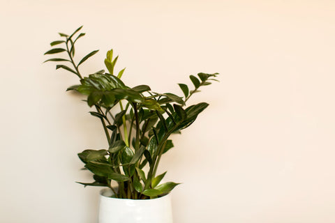 Vibrant green plant in front a wall painted with Digby Paints premium interior wall paint in colour Sunshine Stroll