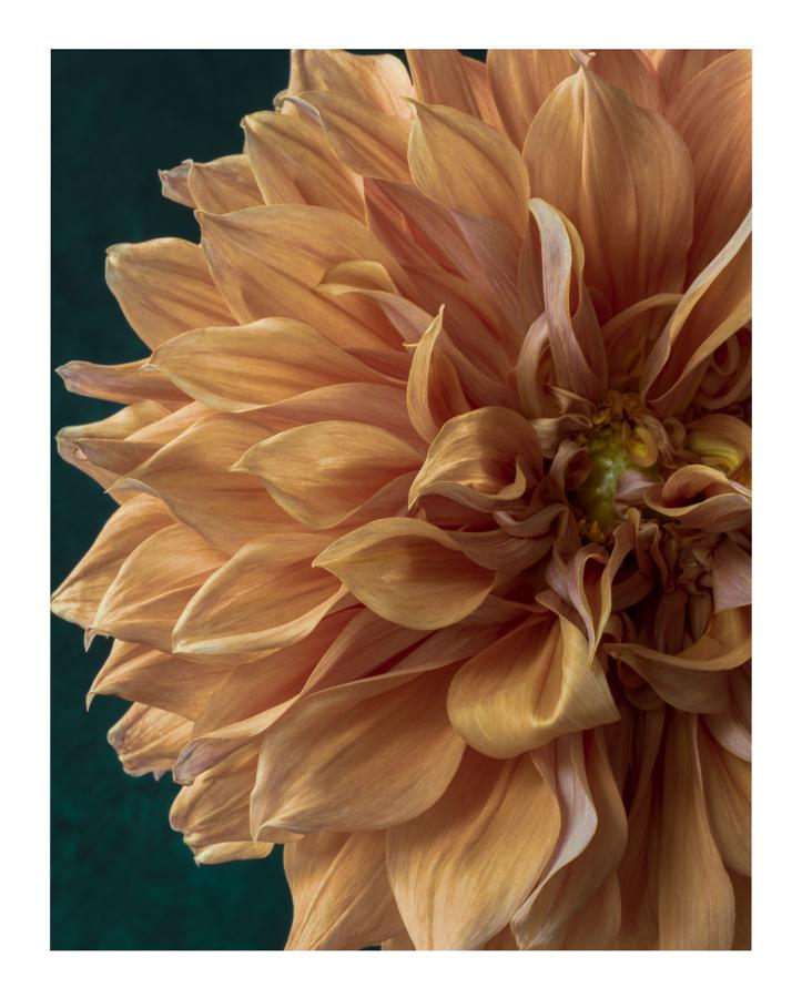 Dahlia IX Fine Art Flower Prints | Elena Dragoi