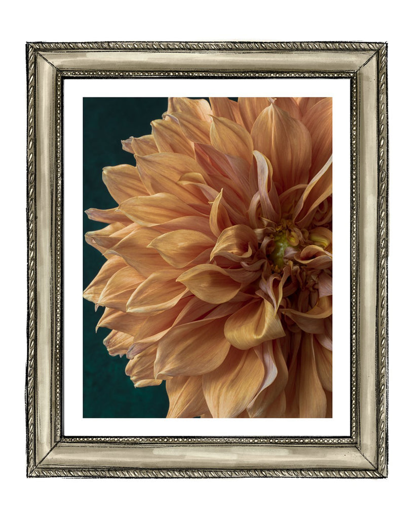 Dahlia IX Flower Art Prints