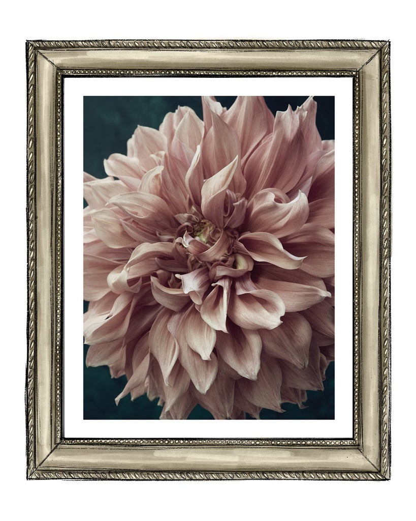 Dahlia VIII | Flower Art Prints