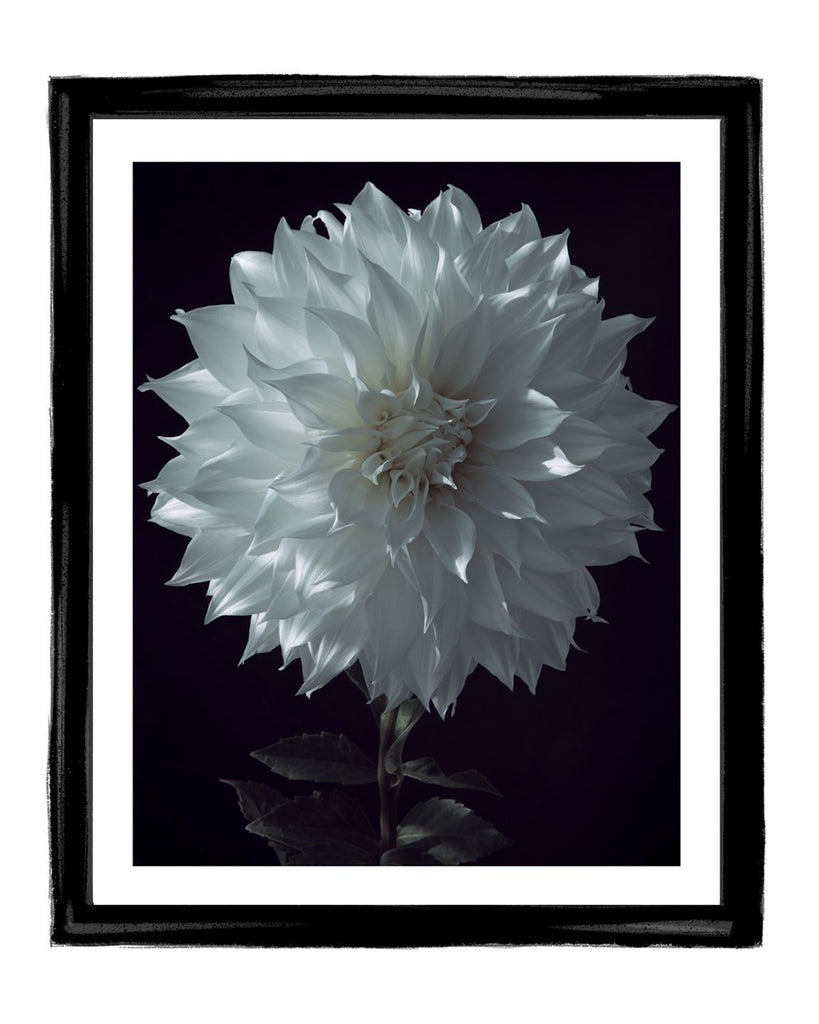 Dahlia X fine art flower photography