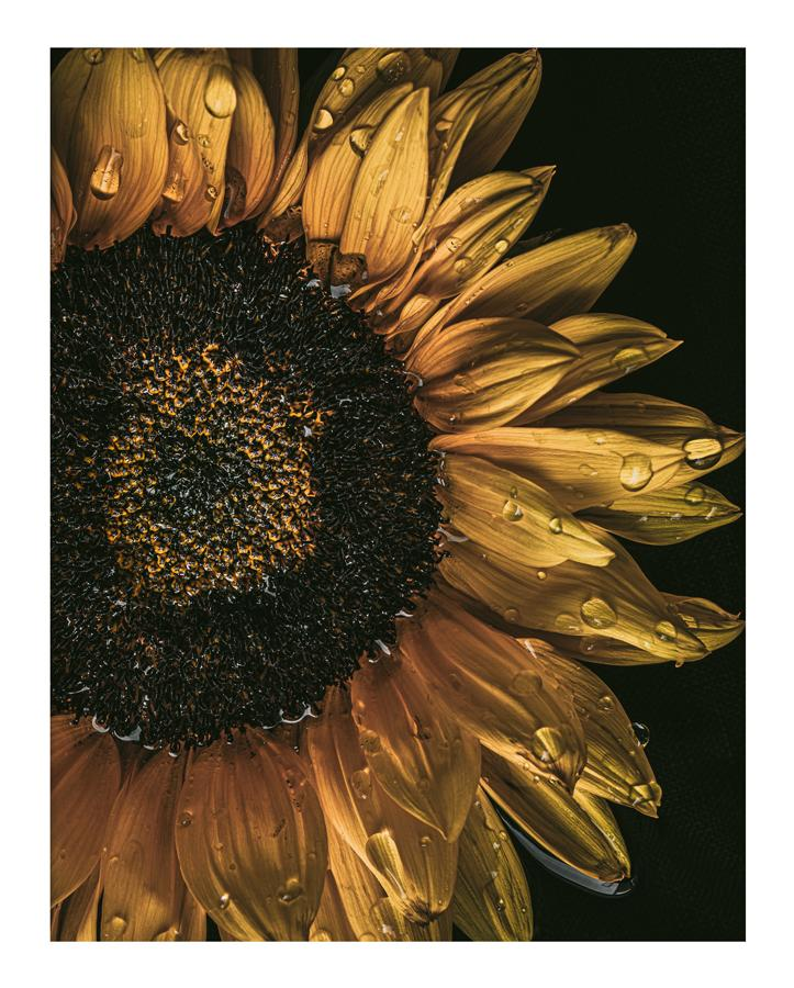 Golden Hour I Sunflower Prints | Elena Dragoi