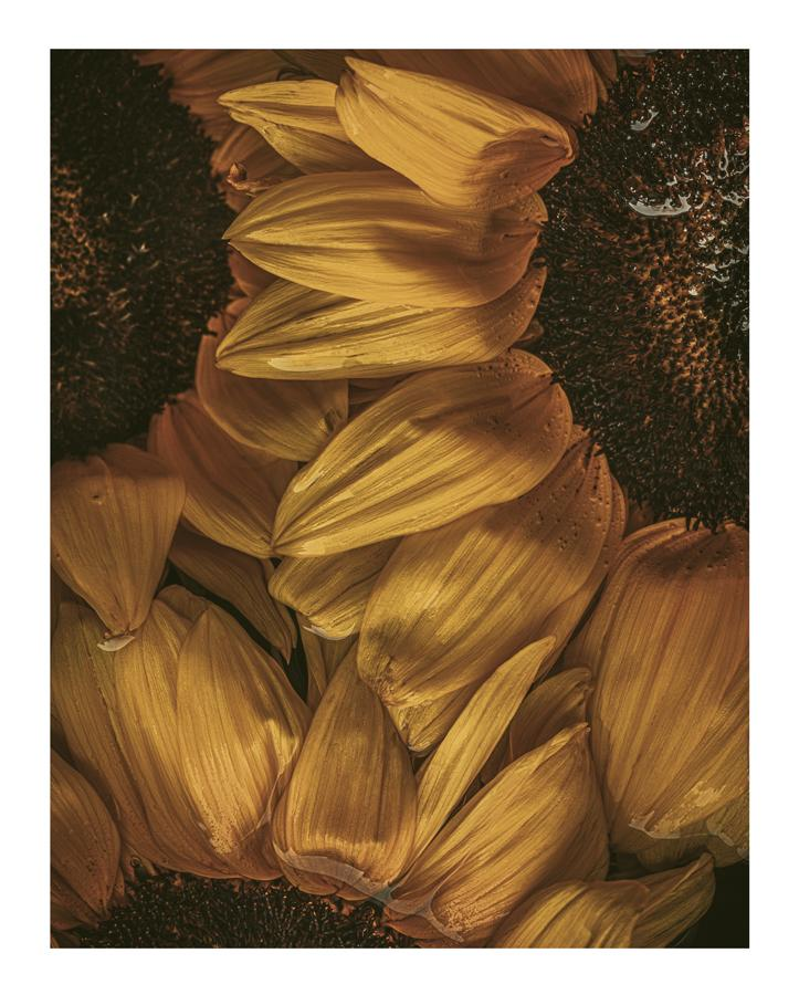 Golden Hour II Sunflower Prints | Elena Dragoi