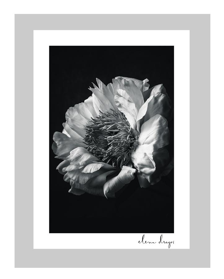 Paeony (Peony) II floral art cards | ELENA DRAGOI