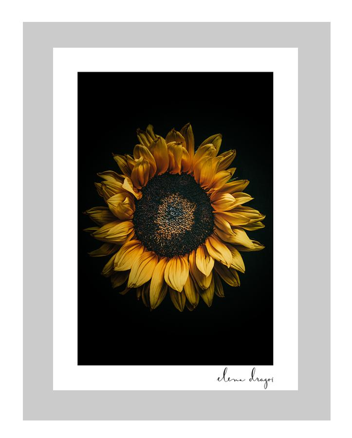 Sunkissed sunflower art cards | floral art postcard | fine art photography flower prints | ELENA DRAGOI