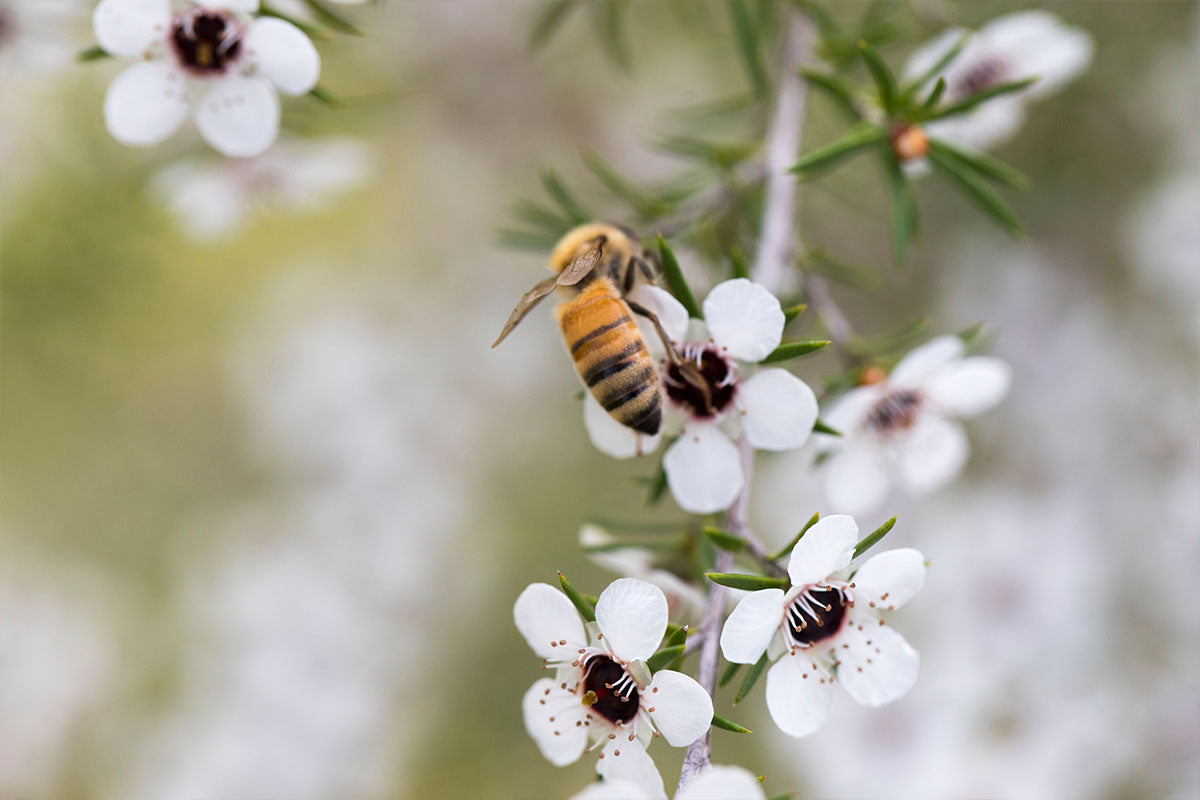 This is Manuka: What you need to know