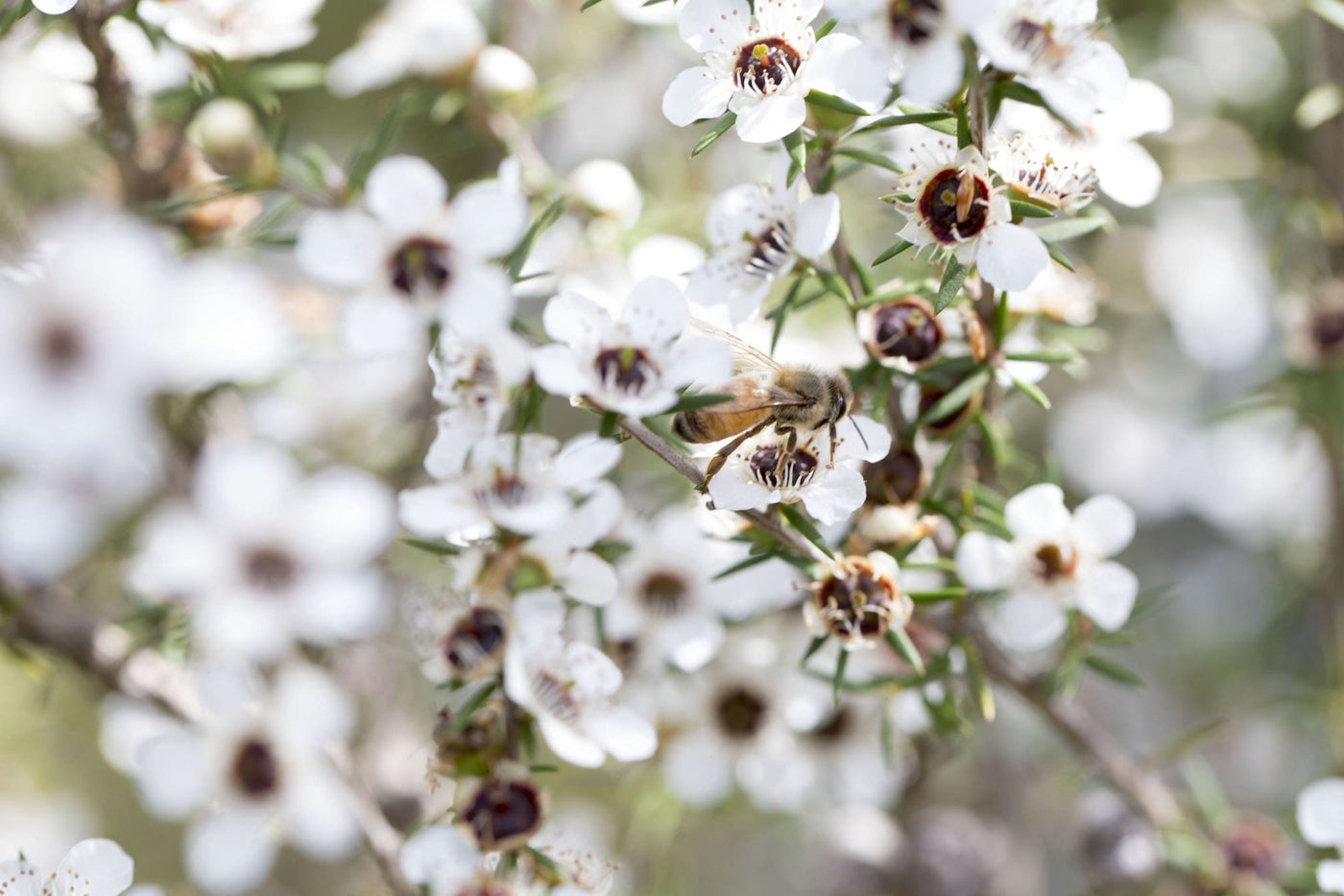 Waikato-based SummerGlow Apiaries celebrates Mānuka Honey certification mark