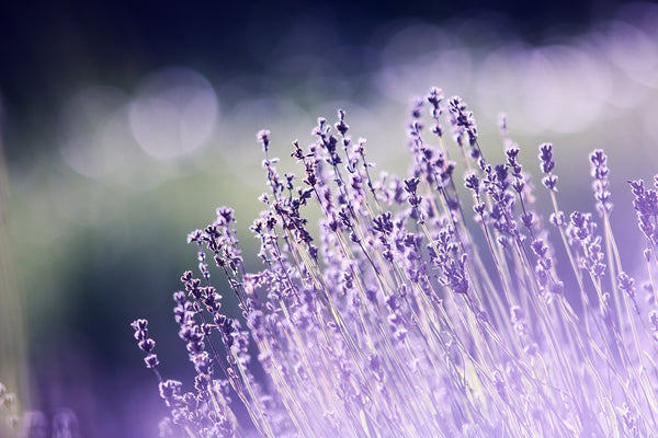 Lavender: A Natural Anxiety Reducer