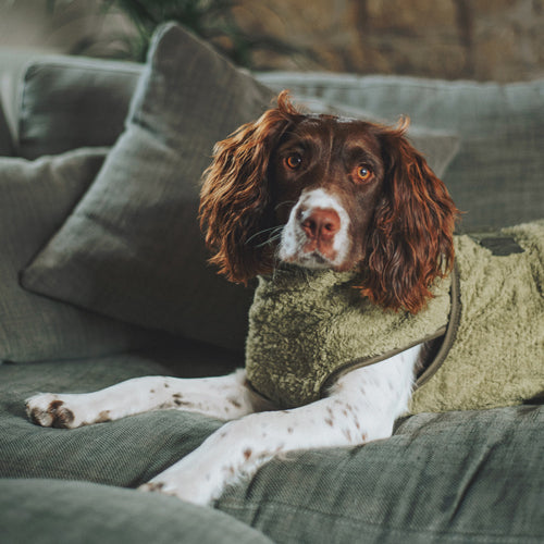 Springer spaniel on sofa wearing a drying coat