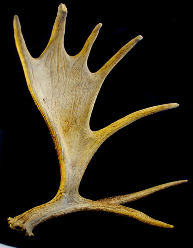 CUSTOM Painting on Real Moose Antler - Freestanding Antler - Woods Imagery