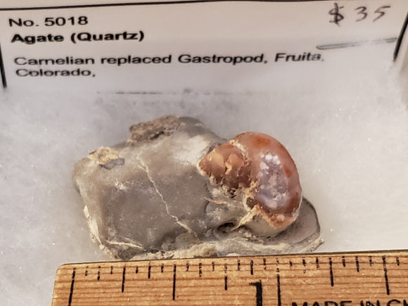 Carnelian replaced Gastropod