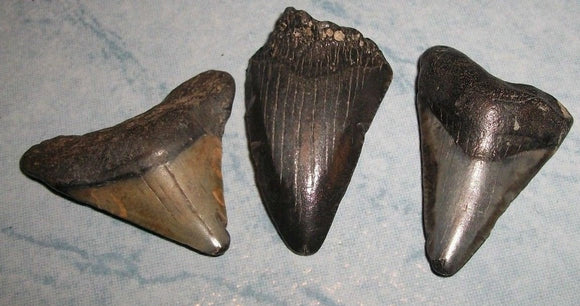 Megalodon Shark Tooth lot