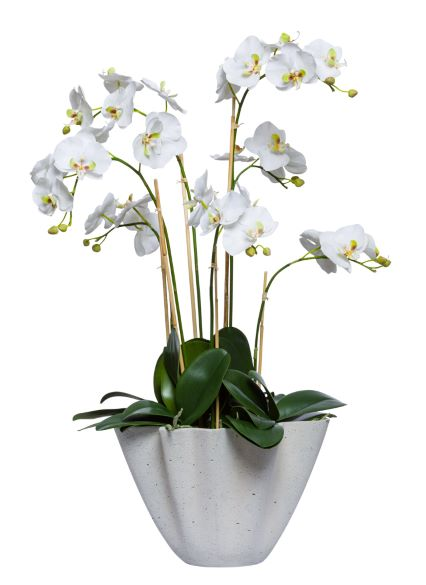 WHITE PHAL IN SMALL PLANTER