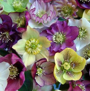 6 Things You Didn't Know About Hellebores