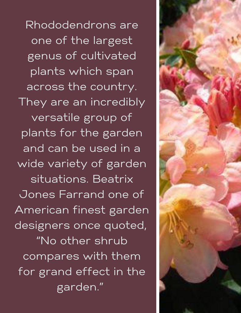 Designing with Rhododendrons
