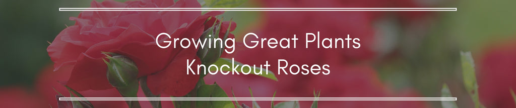 Knockout Roses- The Easiest Roses