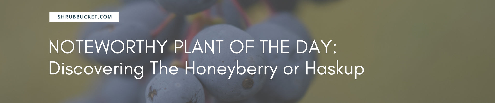 Discovering The Honeyberry