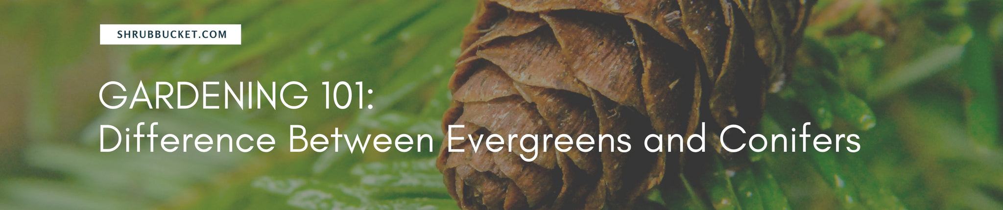 The Difference Between Evergreens and Conifers