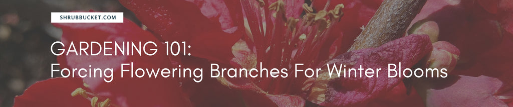How To Force Flowering Branches For Winter Blooms