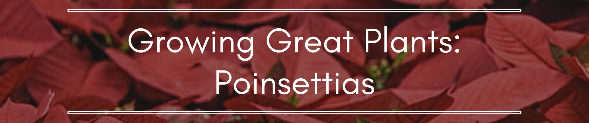 Growing Great Plants: Poinsettias