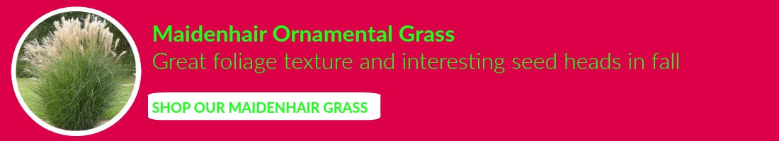 Buy Ornamental Grasses Online
