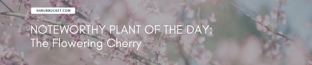 Noteworthy Plant Of The Day: Flowering Cherry