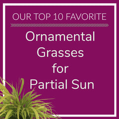 Ornamental Grasses for Partial Sun