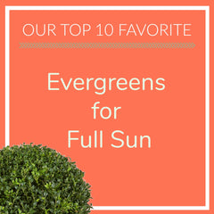 Evergreens for Full Sun