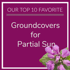 Groundcover for Partial Sun