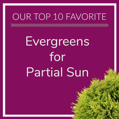 Evergreens for Partial Sun