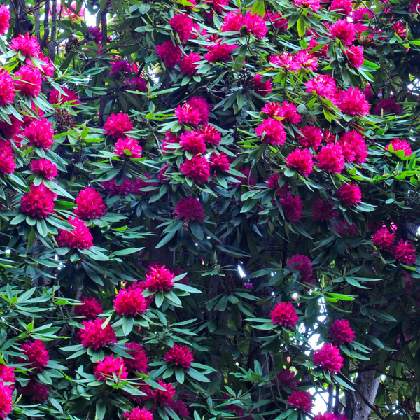 ShrubBucket rhododendron pruning