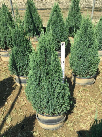 Juniper - 'Blue Point' - 3 Gal. Crop Shot for 2020-28